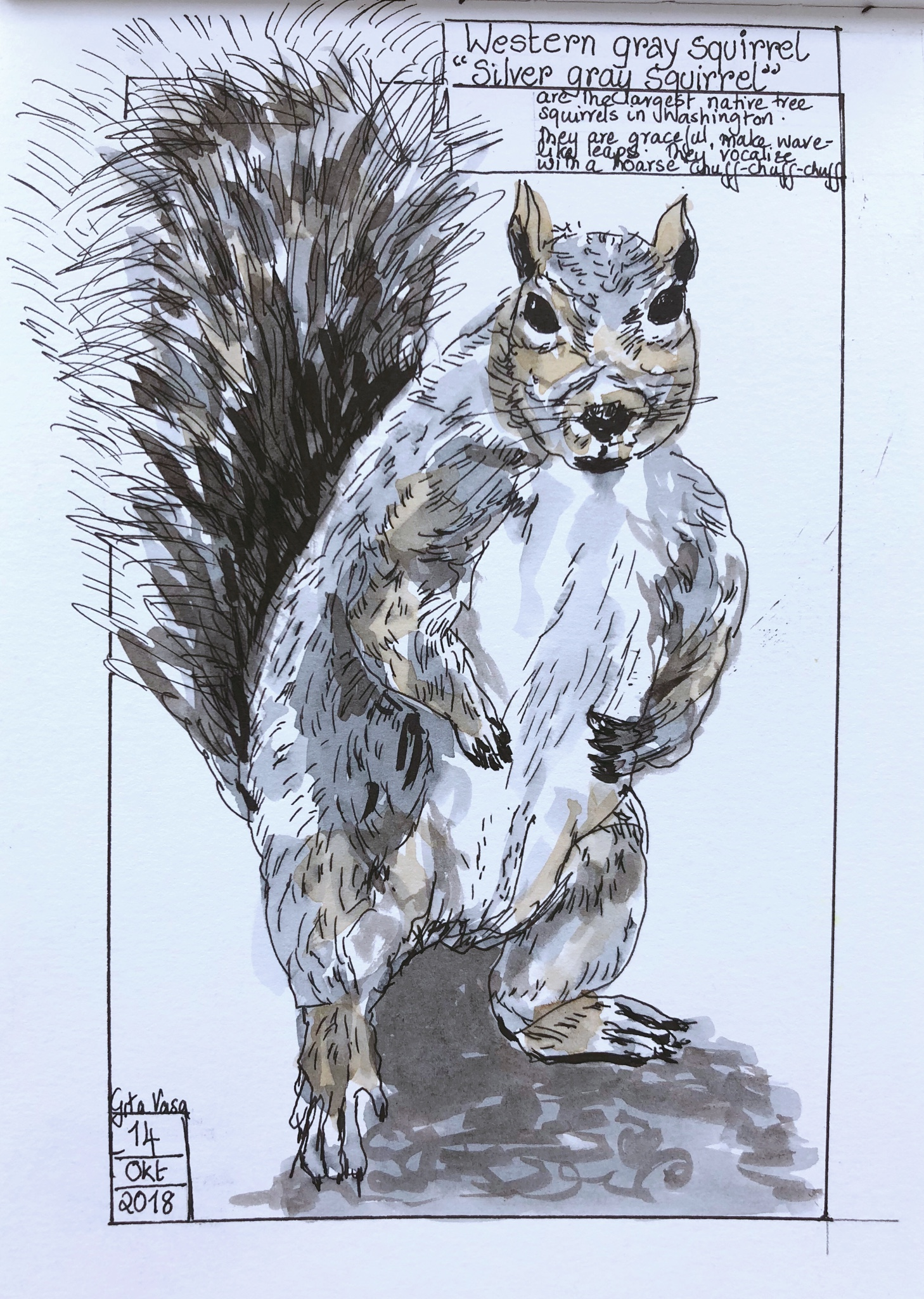 squirril in Washington - pen and ink wash